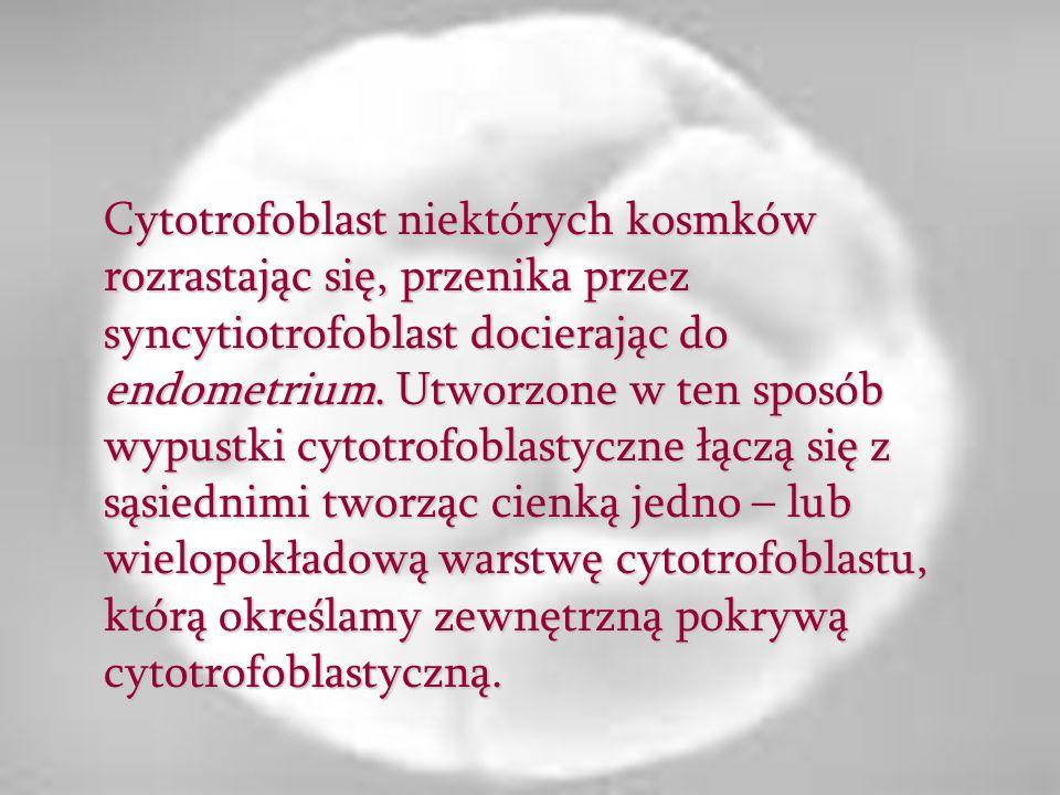 Cytotrofoblast niektórych kosmków rozrastając się, przenika przez syncytiotrofoblast docierając do endometrium. Utworzone w ten sposób wypustki cytotr