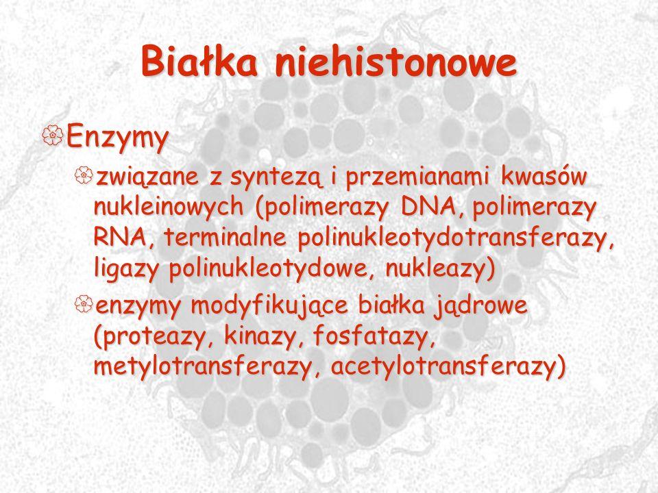 Białka niehistonowe Enzymy Enzymy związane z syntezą i przemianami kwasów nukleinowych (polimerazy DNA, polimerazy RNA, terminalne polinukleotydotrans