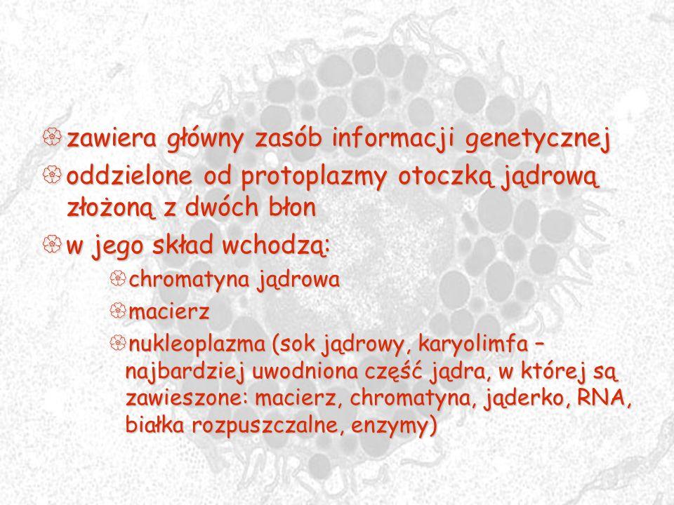 zawiera główny zasób informacji genetycznej zawiera główny zasób informacji genetycznej oddzielone od protoplazmy otoczką jądrową złożoną z dwóch błon