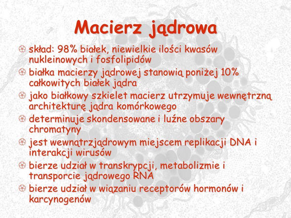 Macierz jądrowa skład: 98% białek, niewielkie ilości kwasów nukleinowych i fosfolipidów skład: 98% białek, niewielkie ilości kwasów nukleinowych i fos