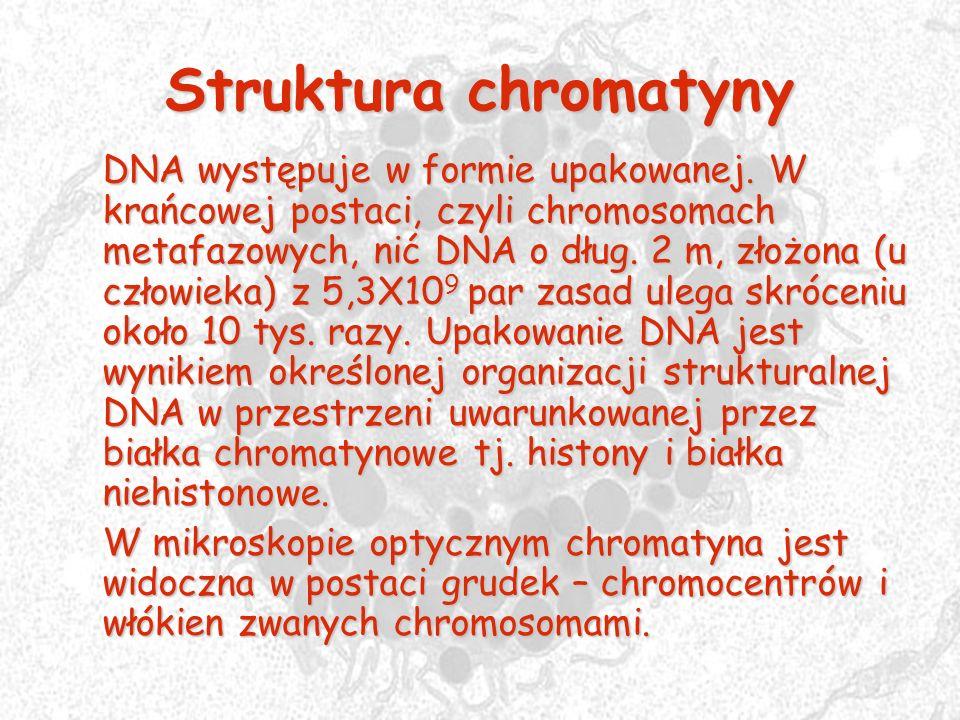 Struktura chromatyny DNA występuje w formie upakowanej. W krańcowej postaci, czyli chromosomach metafazowych, nić DNA o dług. 2 m, złożona (u człowiek