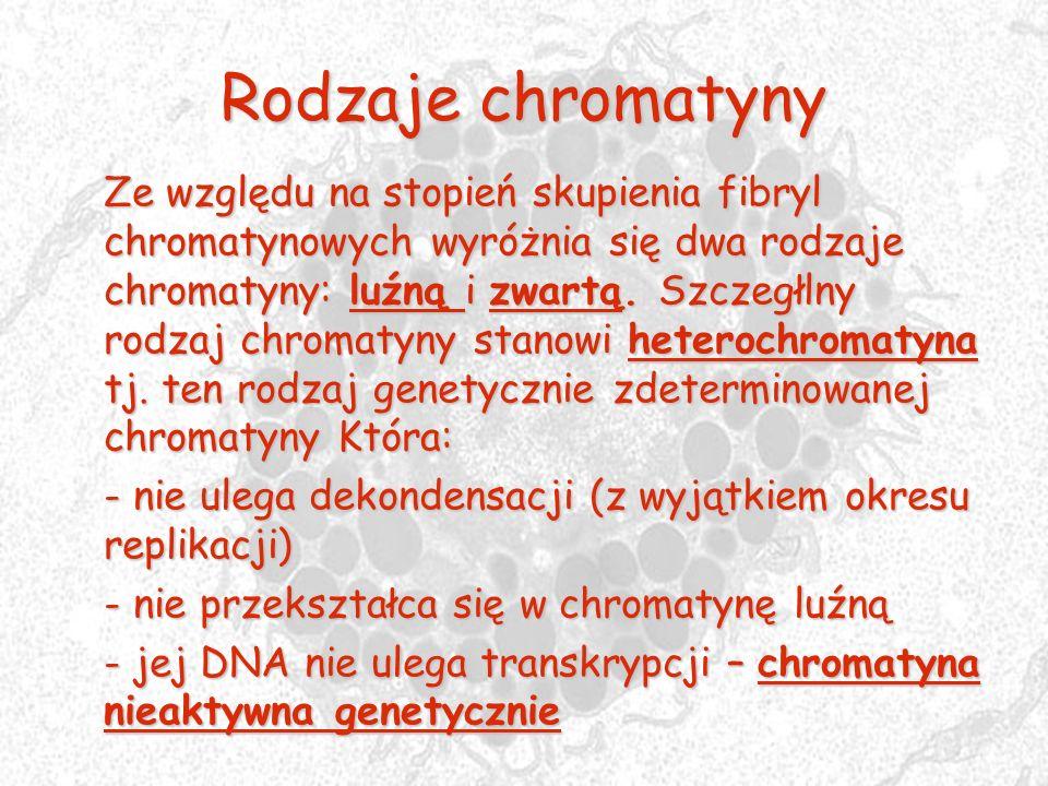 Rodzaje chromatyny Ze względu na stopień skupienia fibryl chromatynowych wyróżnia się dwa rodzaje chromatyny: luźną i zwartą. Szczegłlny rodzaj chroma