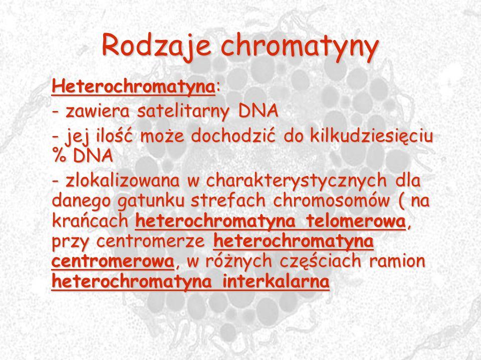 Rodzaje chromatyny Heterochromatyna: - zawiera satelitarny DNA - jej ilość może dochodzić do kilkudziesięciu % DNA - zlokalizowana w charakterystyczny
