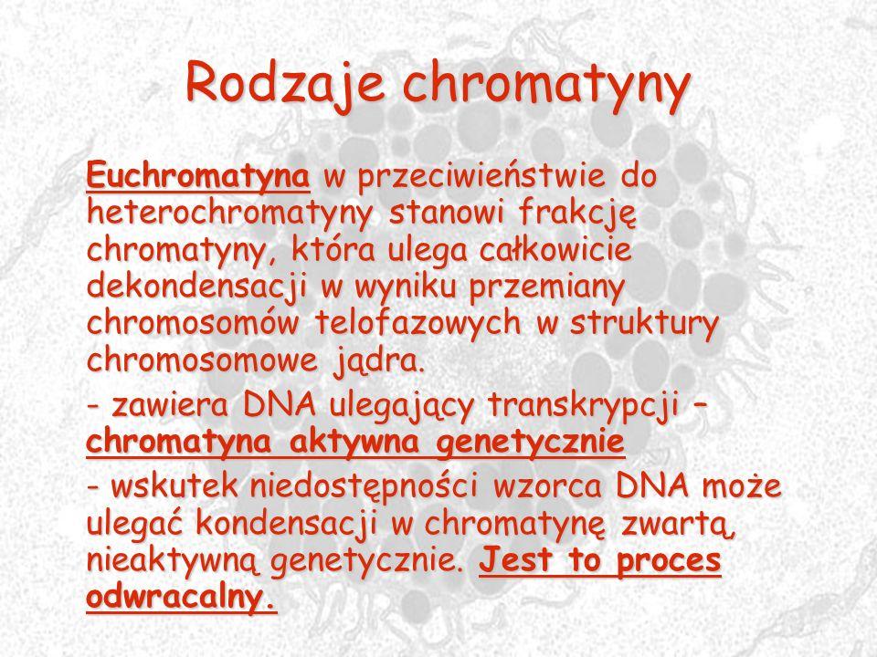 Rodzaje chromatyny Euchromatyna w przeciwieństwie do heterochromatyny stanowi frakcję chromatyny, która ulega całkowicie dekondensacji w wyniku przemi