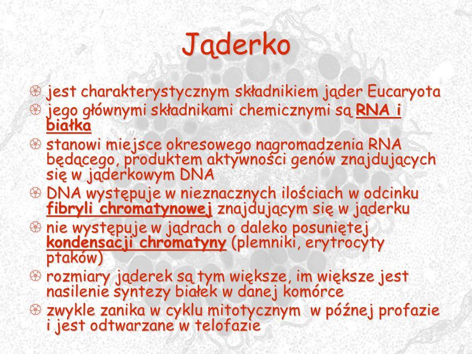 Jąderko jest charakterystycznym składnikiem jąder Eucaryota jest charakterystycznym składnikiem jąder Eucaryota jego głównymi składnikami chemicznymi