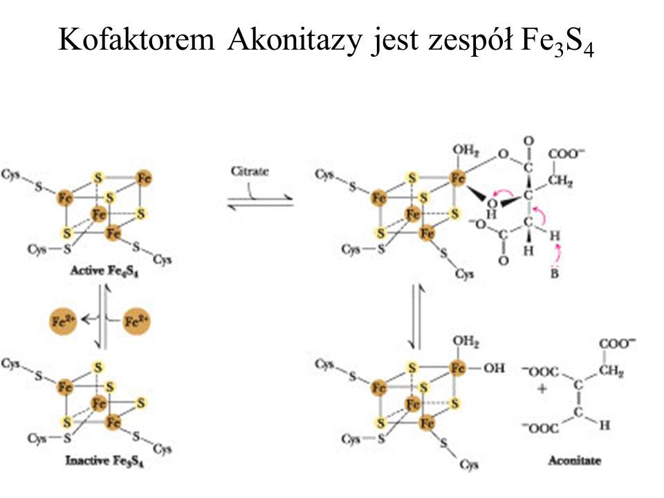 Kofaktorem Akonitazy jest zespół Fe 3 S 4