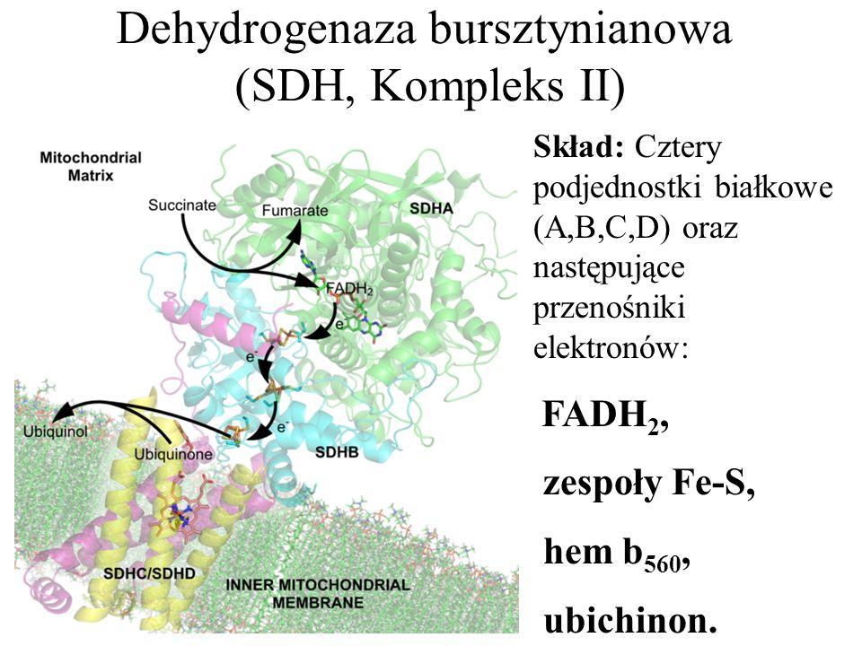 Dehydrogenaza bursztynianowa (SDH, Kompleks II) Skład: Cztery podjednostki białkowe (A,B,C,D) oraz następujące przenośniki elektronów: FADH 2, zespoły Fe-S, hem b 560, ubichinon.