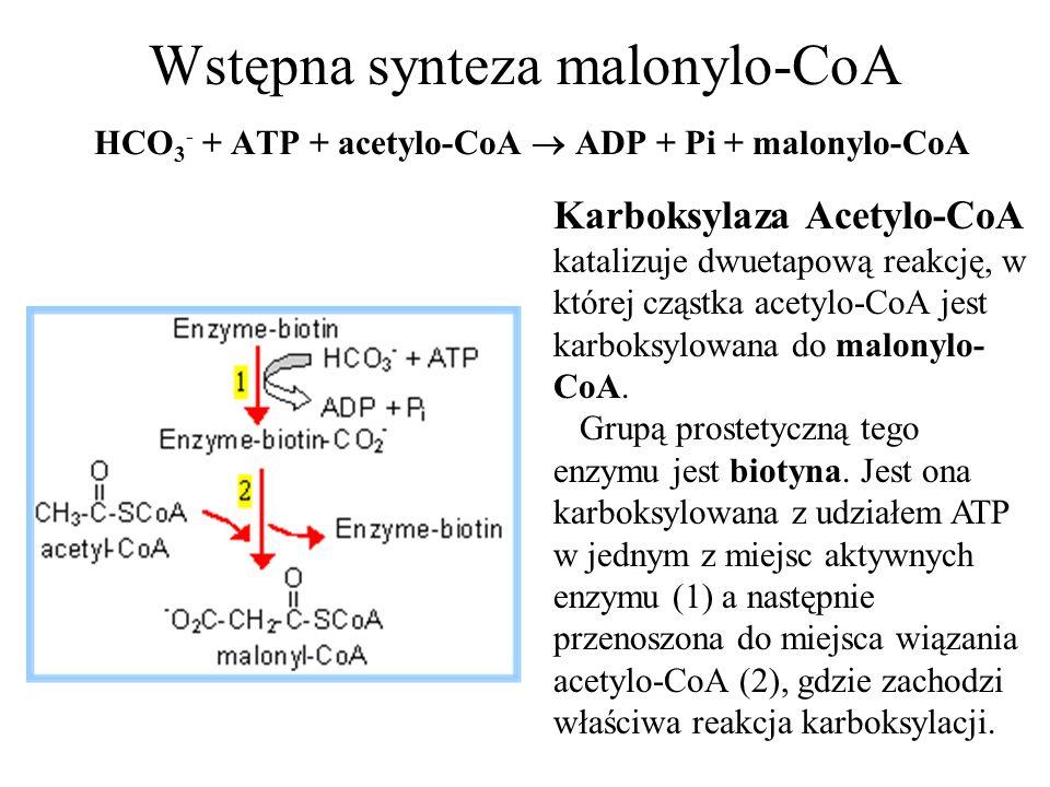 Wstępna synteza malonylo-CoA HCO 3 - + ATP + acetylo-CoA ADP + Pi + malonylo-CoA Karboksylaza Acetylo-CoA katalizuje dwuetapową reakcję, w której cząs