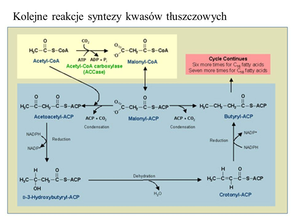Kolejne reakcje syntezy kwasów tłuszczowych