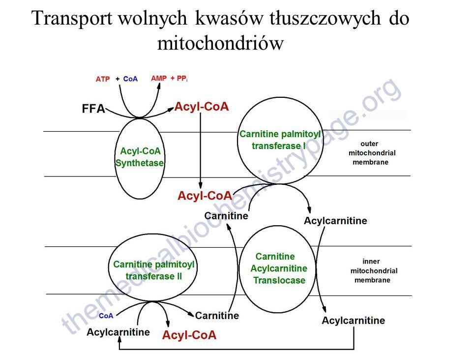 Karnityna Nazwa systematyczna : kwas 3-hydroksy-4-(trimetylo-amonio) butanowy Karnityna jest czwartorzędową zasadą amoniową tworzoną z aminokwasów lizyny i metioniny.