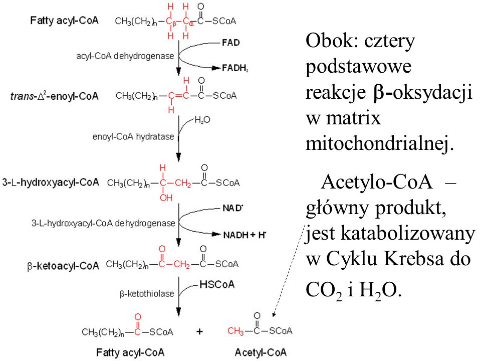 Obok: cztery podstawowe reakcje -oksydacji w matrix mitochondrialnej. Acetylo-CoA – główny produkt, jest katabolizowany w Cyklu Krebsa do CO 2 i H 2 O