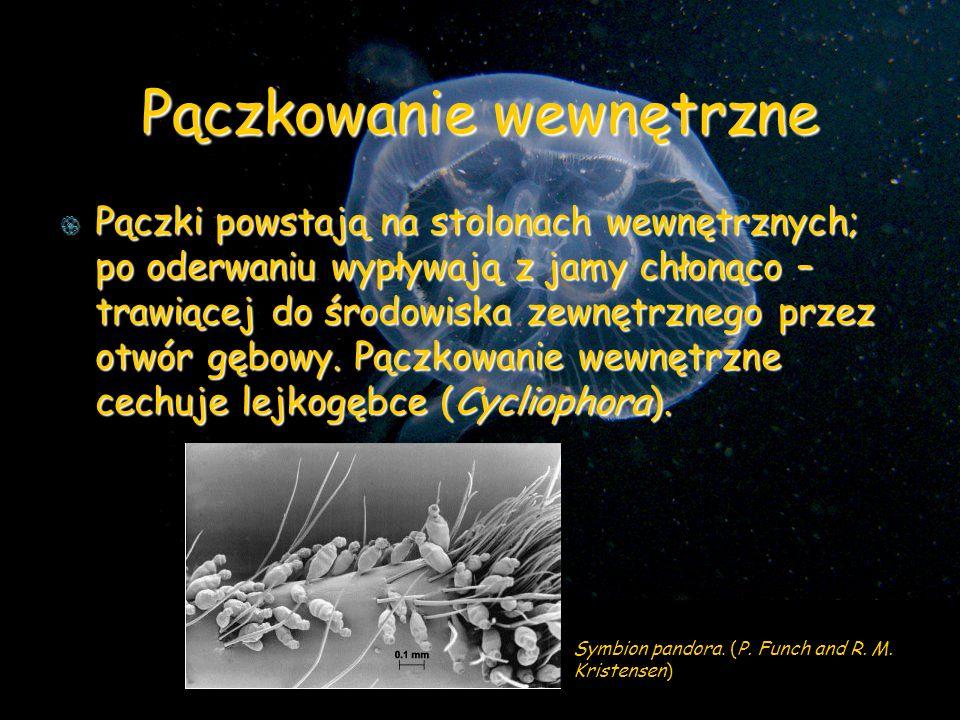 Pączkowanie wewnętrzne Pączki powstają na stolonach wewnętrznych; po oderwaniu wypływają z jamy chłonąco – trawiącej do środowiska zewnętrznego przez otwór gębowy.