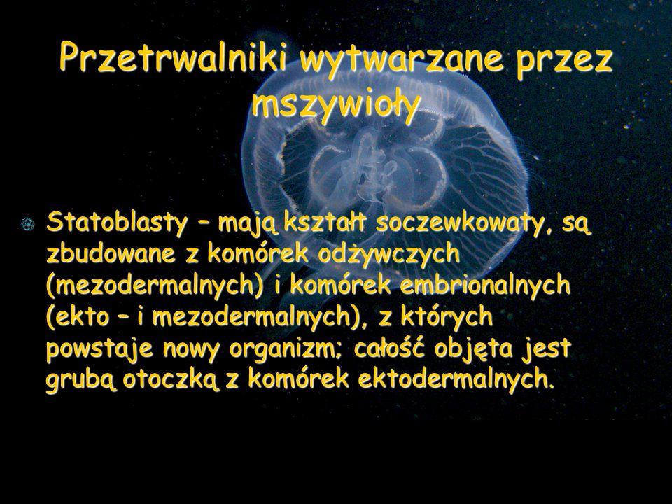 Przetrwalniki wytwarzane przez mszywioły Statoblasty – mają kształt soczewkowaty, są zbudowane z komórek odżywczych (mezodermalnych) i komórek embrionalnych (ekto – i mezodermalnych), z których powstaje nowy organizm; całość objęta jest grubą otoczką z komórek ektodermalnych.