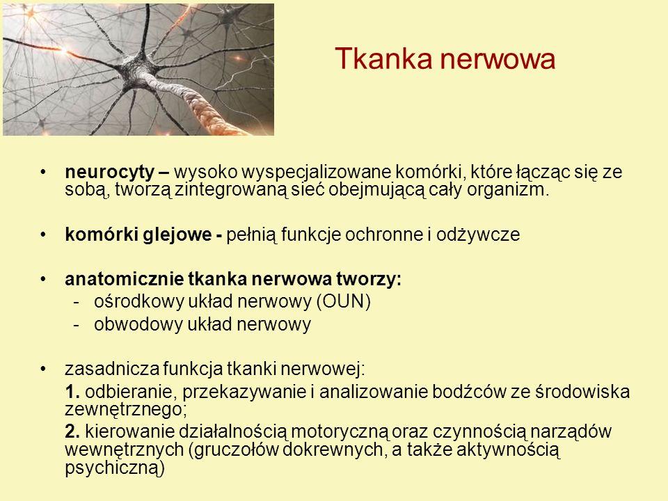 Neurony Neuron - jednostka strukturalno-czynnościowa tkanki nerwowej, tworzy ją komórka nerwowa wraz z wypustkami Budowa: 1.