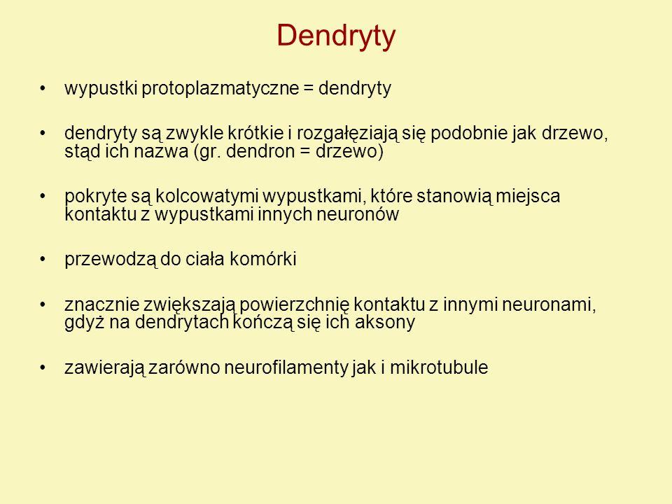 Dendryty wypustki protoplazmatyczne = dendryty dendryty są zwykle krótkie i rozgałęziają się podobnie jak drzewo, stąd ich nazwa (gr. dendron = drzewo