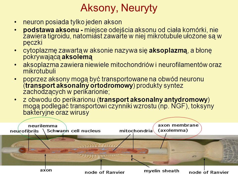 Aksony, Neuryty neuron posiada tylko jeden akson podstawa aksonu - miejsce odejścia aksonu od ciała komórki, nie zawiera tigroidu, natomiast zawarte w
