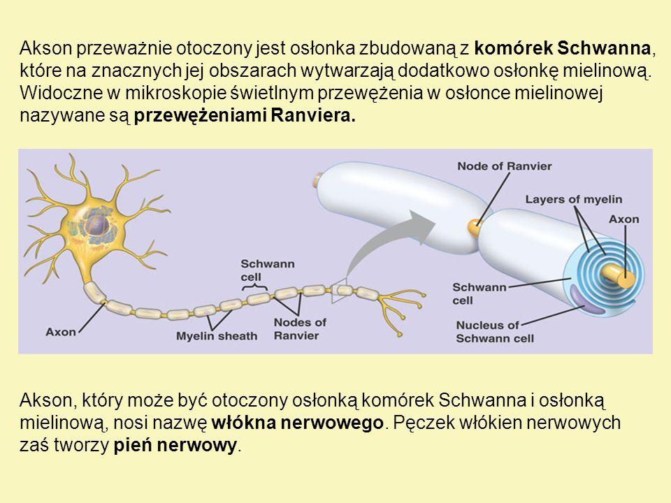 Akson przeważnie otoczony jest osłonka zbudowaną z komórek Schwanna, które na znacznych jej obszarach wytwarzają dodatkowo osłonkę mielinową. Widoczne