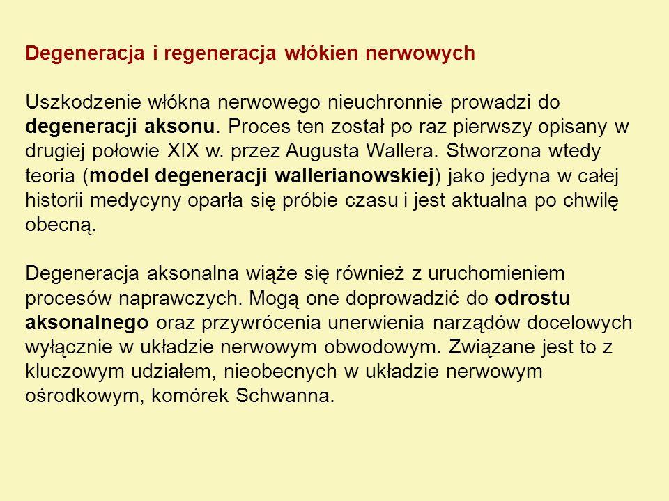 Degeneracja i regeneracja włókien nerwowych Uszkodzenie włókna nerwowego nieuchronnie prowadzi do degeneracji aksonu. Proces ten został po raz pierwsz