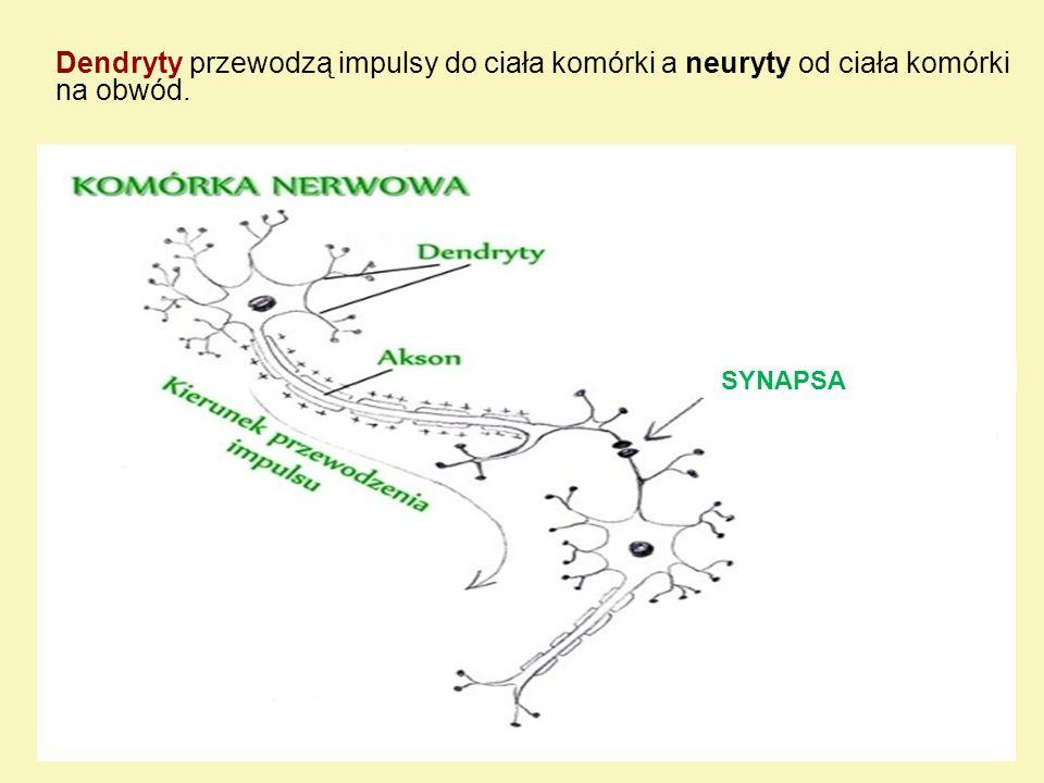 Podział neuronów a) ze względu na funkcję neurony dzielimy na: - motoryczne - czyli ruchowe kierujące funkcją narządów i mięśni; - czuciowe - odbierające i przekazujące bodźce ze środowiska zewnętrznego i wnętrza ciała; - wstawkowe - łączące różne zespoły neuronów, pełniące więc funkcje kojarzeniowe b) ze względu na kształt neurony dzielimy na: - wielobiegunowe -liczne dendryty i jeden akson; - dwubiegunowe jeden dendryt i jeden akson - pozornie jednobiegunowe - posiadające jedną wypustkę, która po krótkim przebiegu rozgałęzia się w kształt litery T.