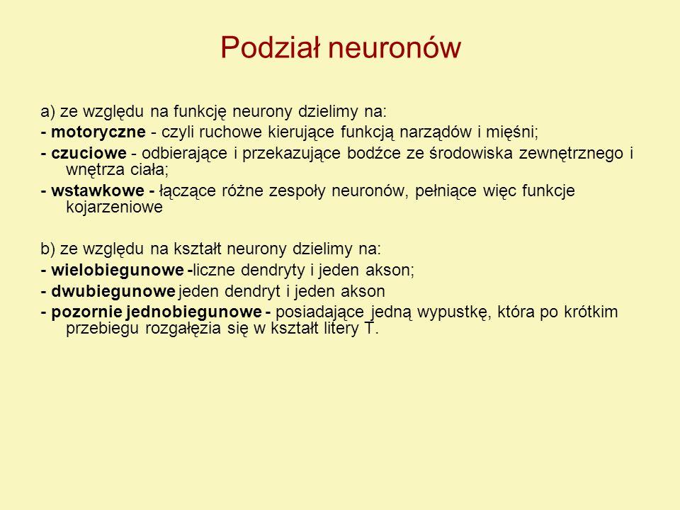 Podział neuronów a) ze względu na funkcję neurony dzielimy na: - motoryczne - czyli ruchowe kierujące funkcją narządów i mięśni; - czuciowe - odbieraj
