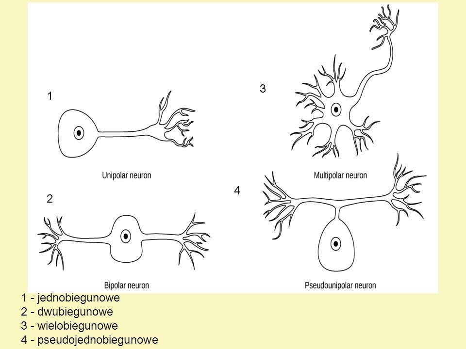 Nerwy nerwy to nagromadzenie włókien nerwowych wraz z towarzyszącą im tkanką łączną włókna tworzące nerw mogą być włóknami mielinowymi lub bezmielinowymi, posiadającymi osłonkę jedynie z lemocytów z punktu widzenia czynnościowego mogą to być włókna ruchowe (odśrodkowe) lub czuciowe (dośrodkowe), przy czym nerw może zawierać jeden rodzaj włókien lub różne ich rodzaje tkankę łączną otaczającą poszczególne włókna nerwowe nazywamy śródnerwiem (endoneurium).