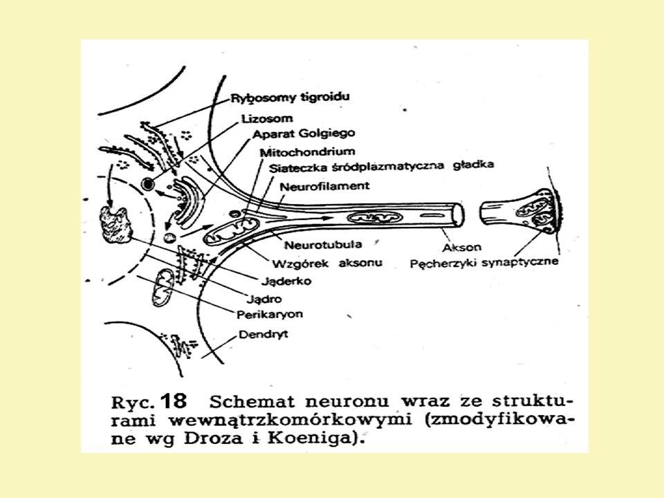 Glej (neuroglej) Komórki gleju stanowią obok właściwych komórek nerwowych - neuronów, zasadniczy składnik ośrodkowego (50%) i obwodowego układu nerwowego.