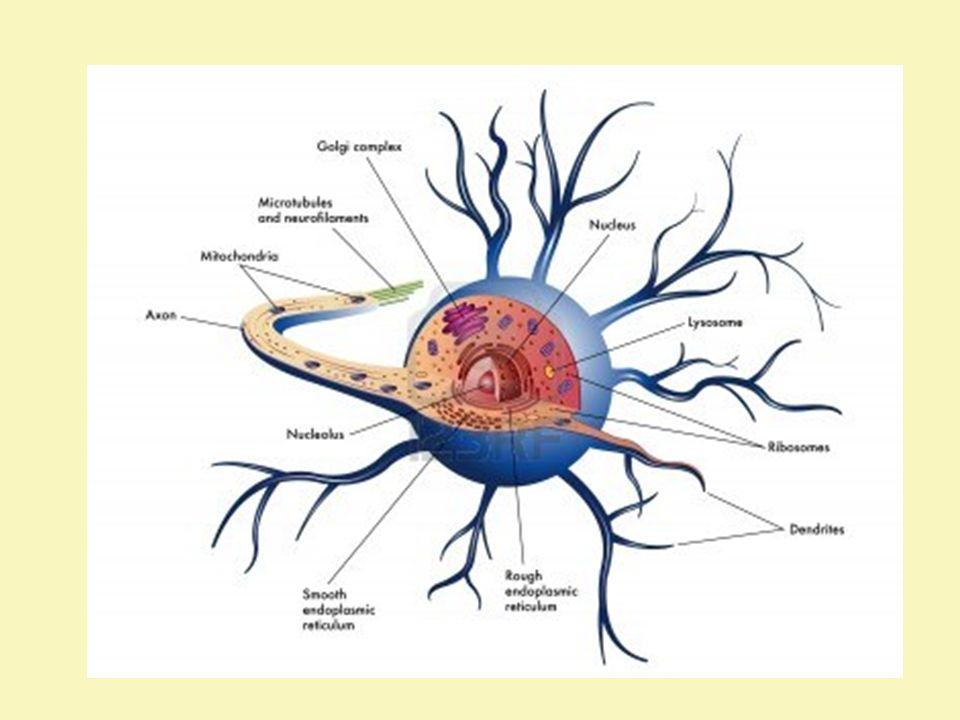 Neurocyt W ośrodkowym układzie nerwowym ciała neuronów znajdują się w istocie szarej, podczas gdy wypustki neuronów tworzą istotę białą.