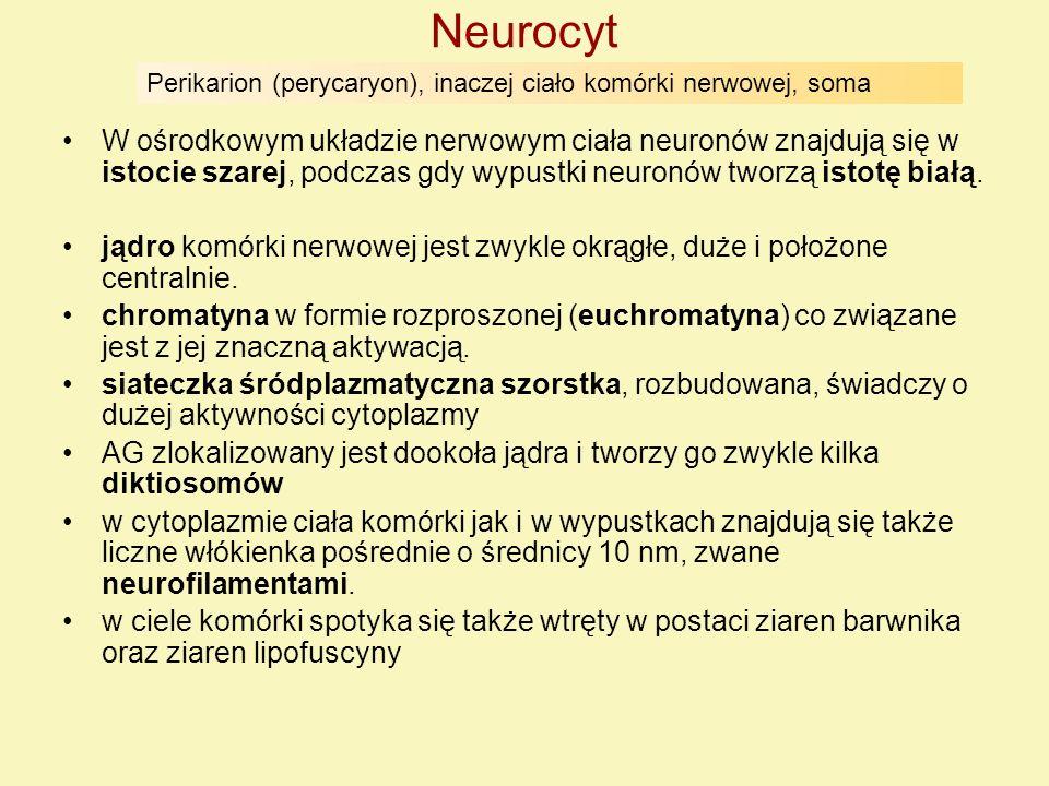 Neurocyt W ośrodkowym układzie nerwowym ciała neuronów znajdują się w istocie szarej, podczas gdy wypustki neuronów tworzą istotę białą. jądro komórki
