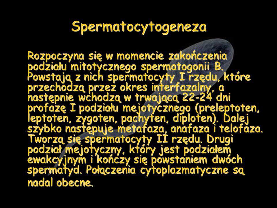 Spermatocytogeneza Rozpoczyna się w momencie zakończenia podziału mitotycznego spermatogonii B. Powstają z nich spermatocyty I rzędu, które przechodzą