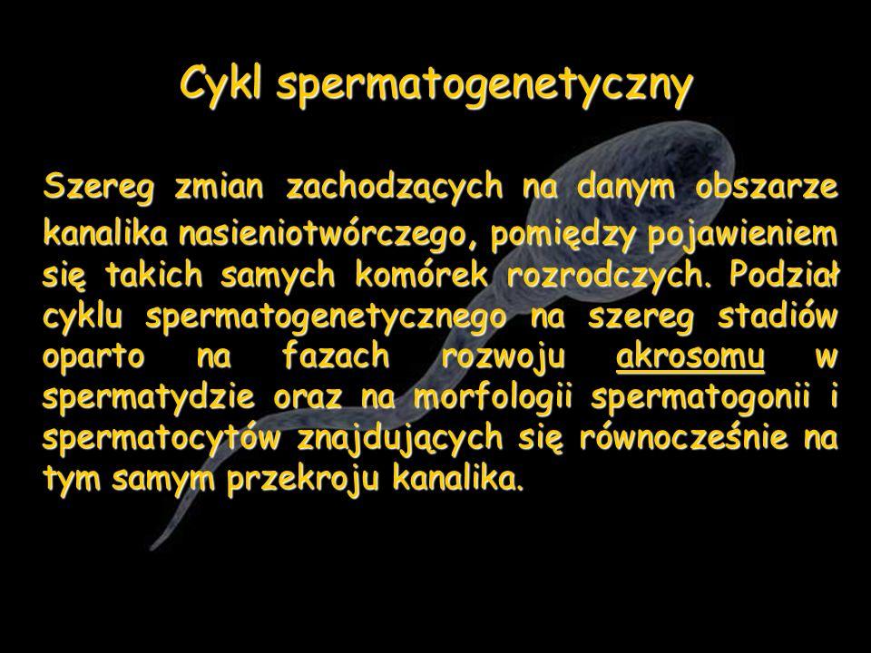 Cykl spermatogenetyczny Szereg zmian zachodzących na danym obszarze kanalika nasieniotwórczego, pomiędzy pojawieniem się takich samych komórek rozrodc