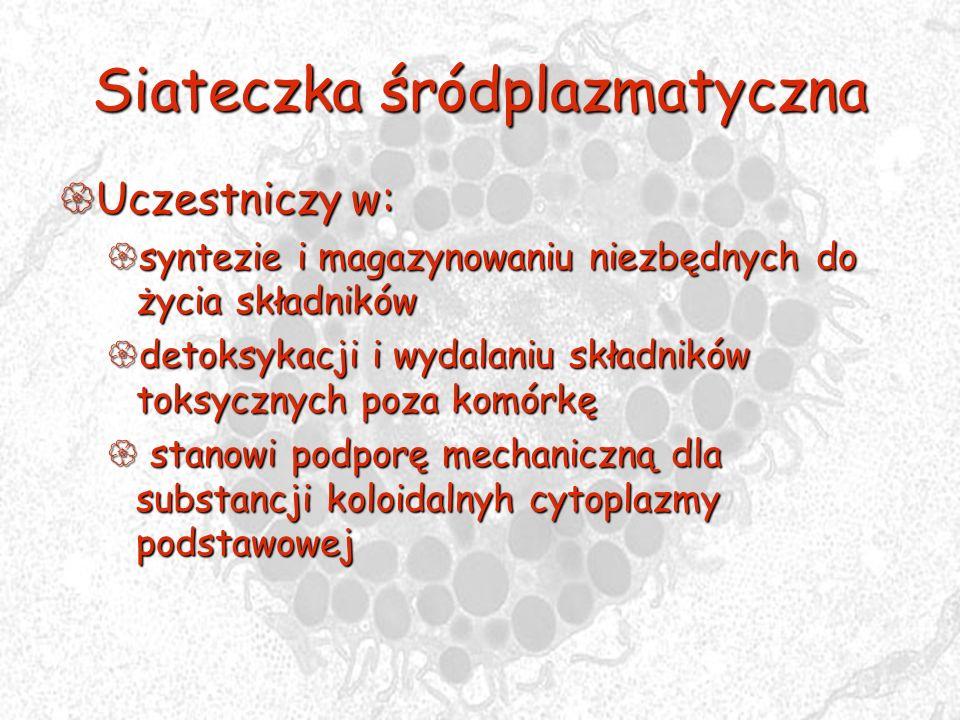 Siateczka śródplazmatyczna Uczestniczy w: Uczestniczy w: syntezie i magazynowaniu niezbędnych do życia składników syntezie i magazynowaniu niezbędnych