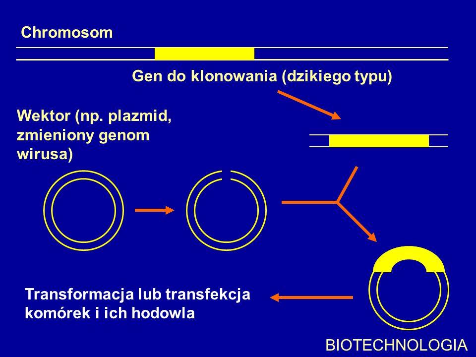 Chromosom Gen do klonowania (dzikiego typu) Wektor (np. plazmid, zmieniony genom wirusa) Transformacja lub transfekcja komórek i ich hodowla BIOTECHNO