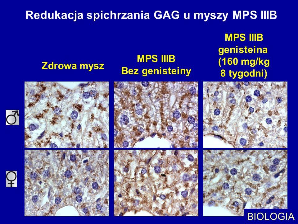 Redukacja spichrzania GAG u myszy MPS IIIB Zdrowa mysz MPS IIIB Bez genisteiny MPS IIIB genisteina (160 mg/kg 8 tygodni) BIOLOGIA