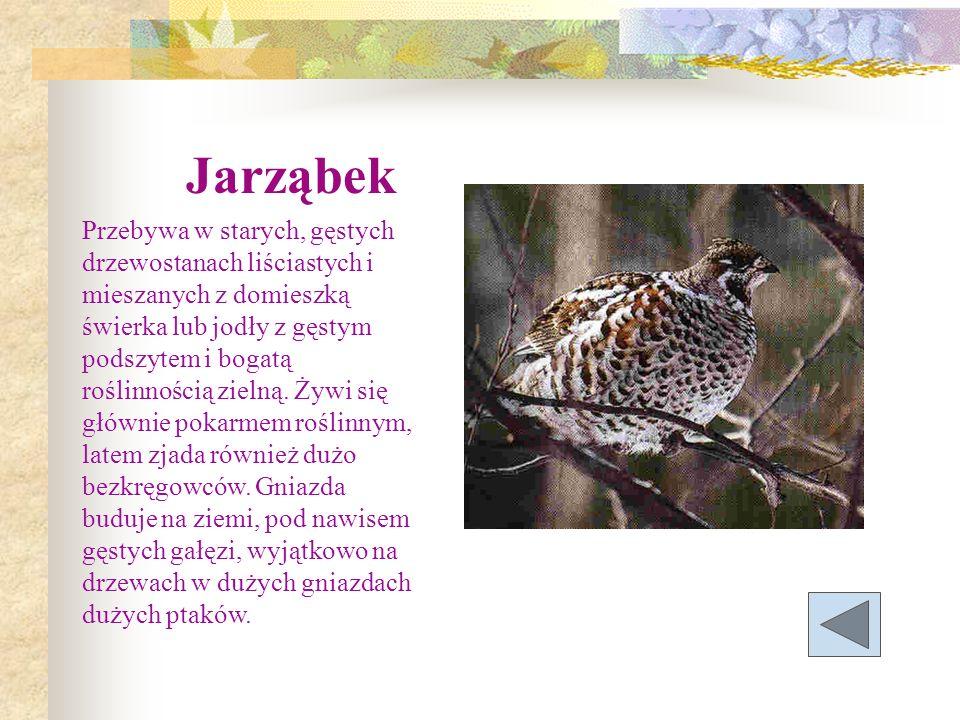 Jarząbek Przebywa w starych, gęstych drzewostanach liściastych i mieszanych z domieszką świerka lub jodły z gęstym podszytem i bogatą roślinnością zie