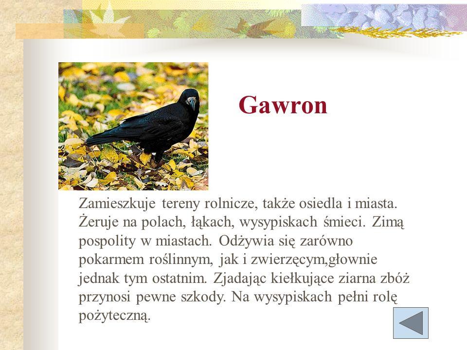 Gawron Zamieszkuje tereny rolnicze, także osiedla i miasta. Żeruje na polach, łąkach, wysypiskach śmieci. Zimą pospolity w miastach. Odżywia się zarów