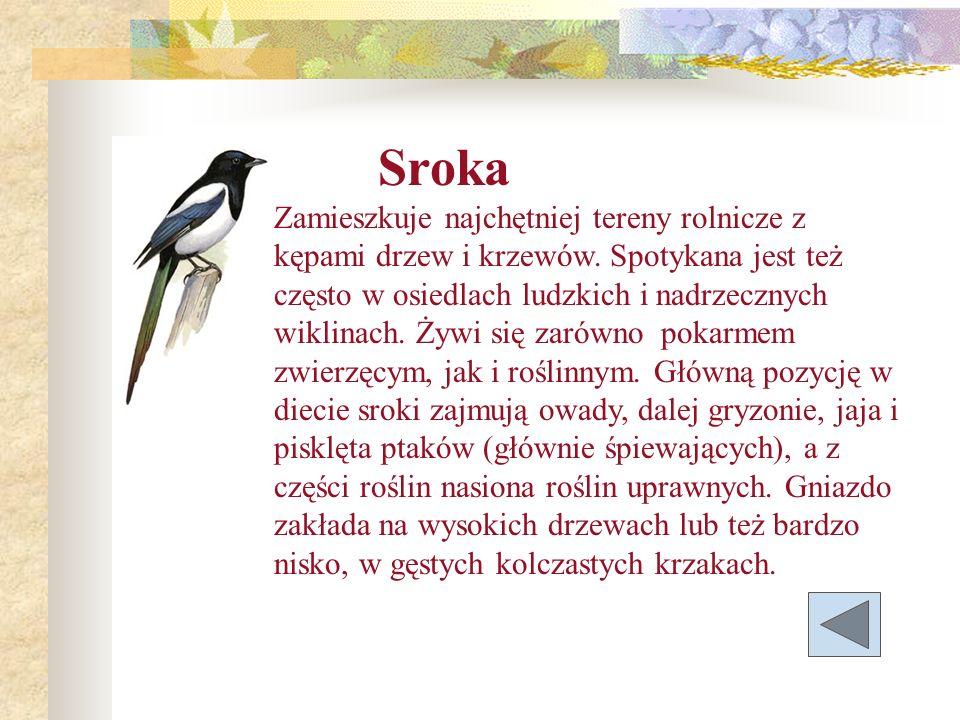Sroka Zamieszkuje najchętniej tereny rolnicze z kępami drzew i krzewów. Spotykana jest też często w osiedlach ludzkich i nadrzecznych wiklinach. Żywi