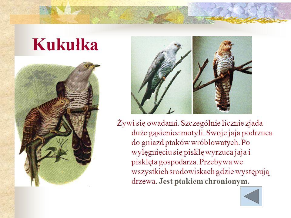 Żywi się owadami. Szczególnie licznie zjada duże gąsienice motyli. Swoje jaja podrzuca do gniazd ptaków wróblowatych. Po wylęgnięciu się pisklę wyrzuc