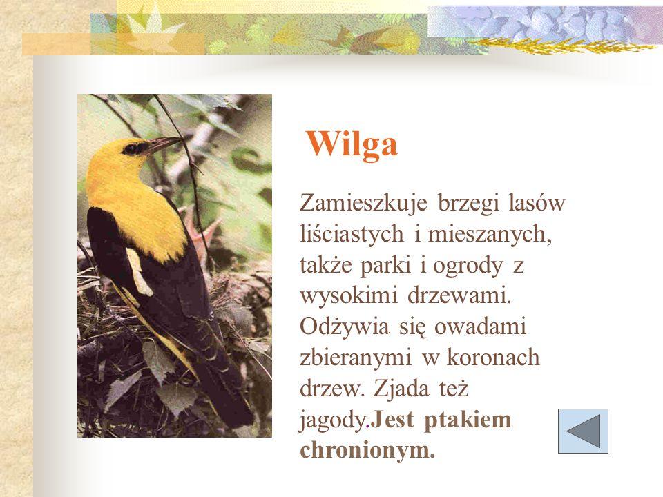 Wilga Zamieszkuje brzegi lasów liściastych i mieszanych, także parki i ogrody z wysokimi drzewami. Odżywia się owadami zbieranymi w koronach drzew. Zj