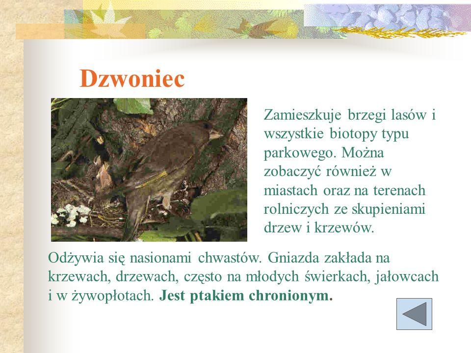 Jarząbek Przebywa w starych, gęstych drzewostanach liściastych i mieszanych z domieszką świerka lub jodły z gęstym podszytem i bogatą roślinnością zielną.