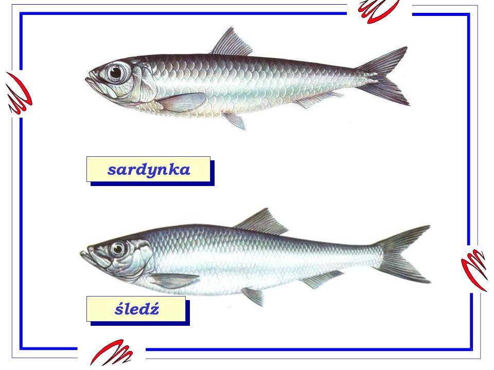 makrela W Bałtyku spotykamy rozmaite ryby.Najliczniej występuje szprot, śledź, sardynka, dorsz.