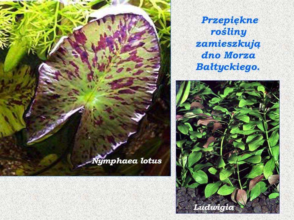 krasnorostbrunatnica Rośliny Morza Bałtyckiego inne rośliny Świat roślinny reprezentują głównie glony: zielenice (taśma, ramienice, gałęzatka), brunatnice (morszczyn pęcherzykowaty), krasnorosty oraz trawy morskie (tasiemica, która tworzy tzw.