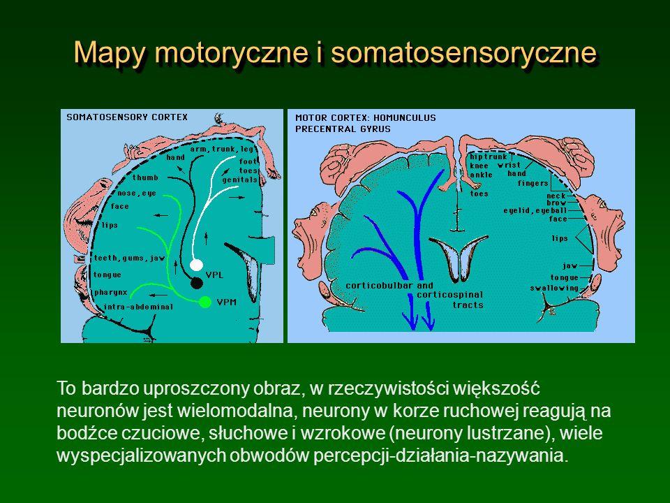 Mapy motoryczne i somatosensoryczne To bardzo uproszczony obraz, w rzeczywistości większość neuronów jest wielomodalna, neurony w korze ruchowej reagu
