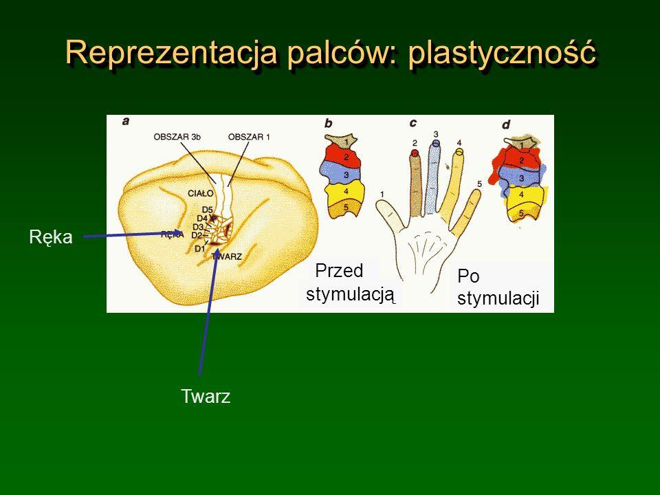 Reprezentacja palców: plastyczność Ręka Twarz Przed Po stymulacji stymulacją
