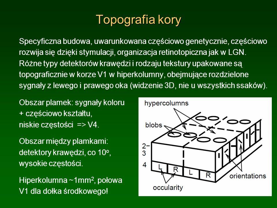 Topografia kory Specyficzna budowa, uwarunkowana częściowo genetycznie, częściowo rozwija się dzięki stymulacji, organizacja retinotopiczna jak w LGN.
