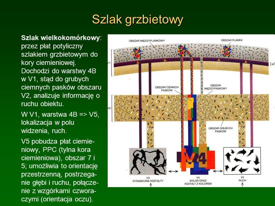 Szlak grzbietowy Szlak wielkokomórkowy: przez płat potyliczny szlakiem grzbietowym do kory ciemieniowej. Dochodzi do warstwy 4B w V1, stąd do grubych