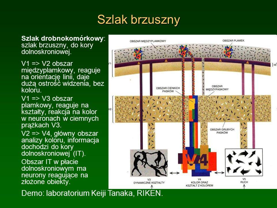 Szlak brzuszny Szlak drobnokomórkowy: szlak brzuszny, do kory dolnoskroniowej. V1 => V2 obszar międzyplamkowy, reaguje na orientację linii, daje dużą
