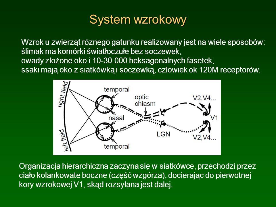 System wzrokowy Organizacja hierarchiczna zaczyna się w siatkówce, przechodzi przez ciało kolankowate boczne (część wzgórza), docierając do pierwotnej