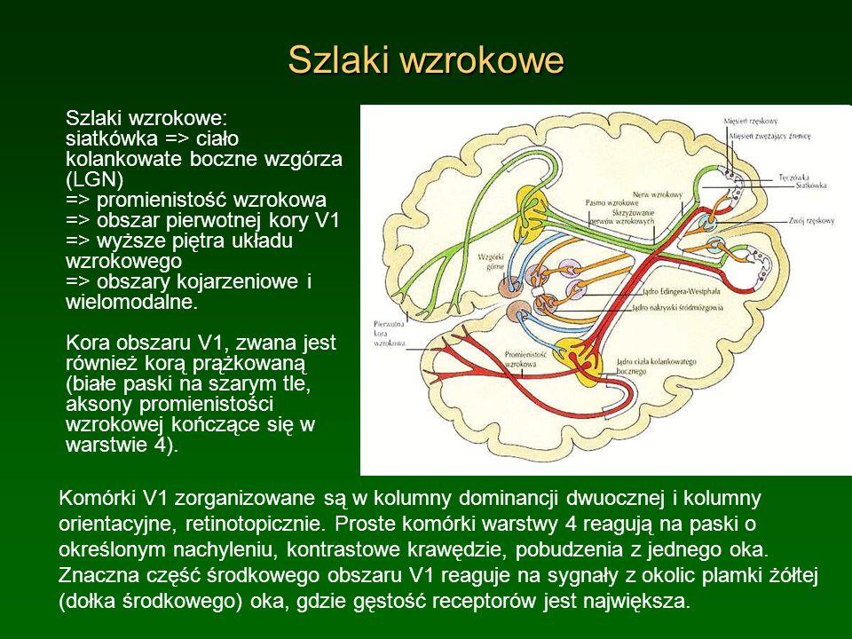 Szlaki wzrokowe Szlaki wzrokowe: siatkówka => ciało kolankowate boczne wzgórza (LGN) => promienistość wzrokowa => obszar pierwotnej kory V1 => wyższe