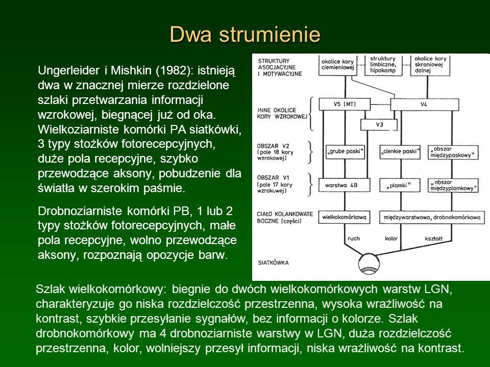Dwa strumienie Ungerleider i Mishkin (1982): istnieją dwa w znacznej mierze rozdzielone szlaki przetwarzania informacji wzrokowej, biegnącej już od ok