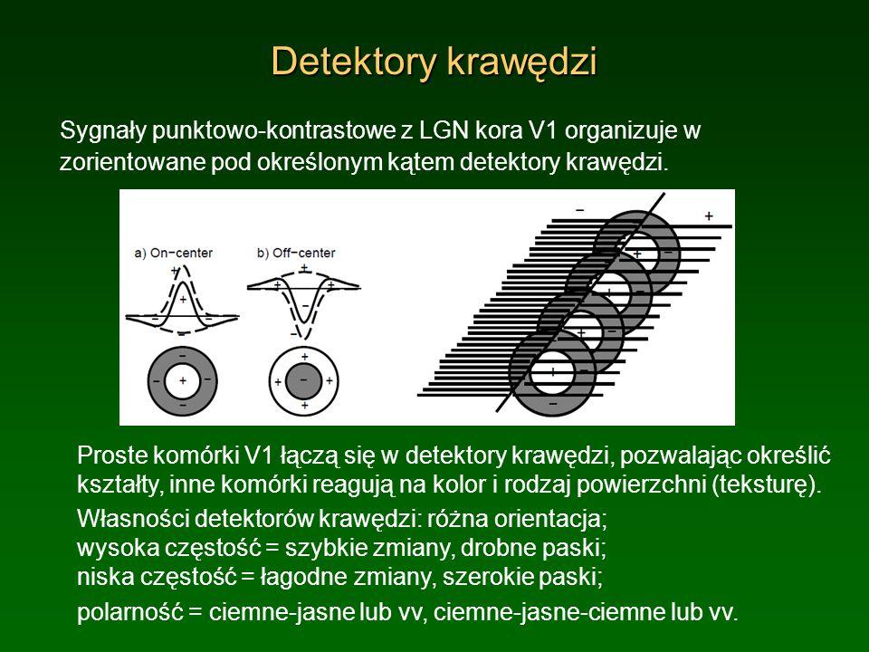 Detektory krawędzi Sygnały punktowo-kontrastowe z LGN kora V1 organizuje w zorientowane pod określonym kątem detektory krawędzi. Proste komórki V1 łąc